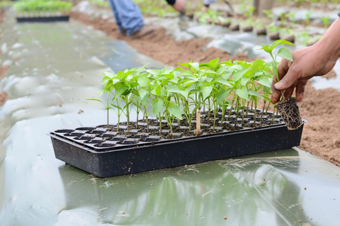 Оптимальные сроки посева семян