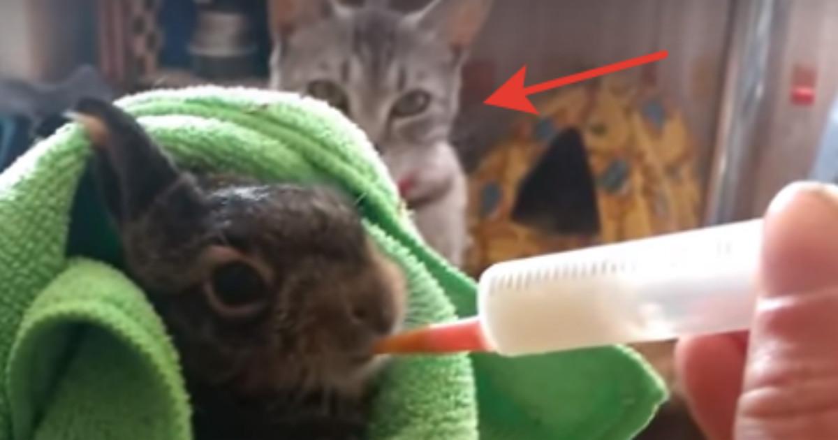 Спасённого крольчонка кормили из пипетки, пока не пришёл хозяйский кот и… Вот это неожиданность!