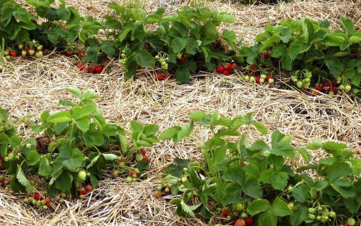 Чем лучше мульчировать клубнику весной и осенью