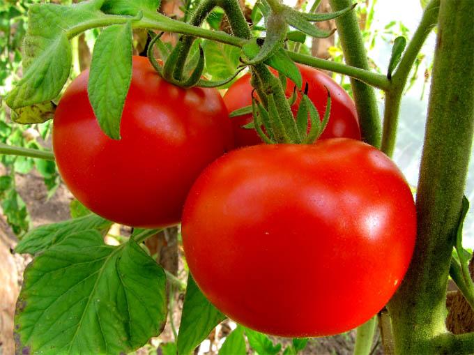 Апрельский посев рассады томатов и перцев