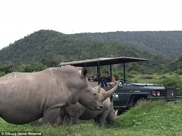 Львы съели браконьеров, которые охотились за носорогами
