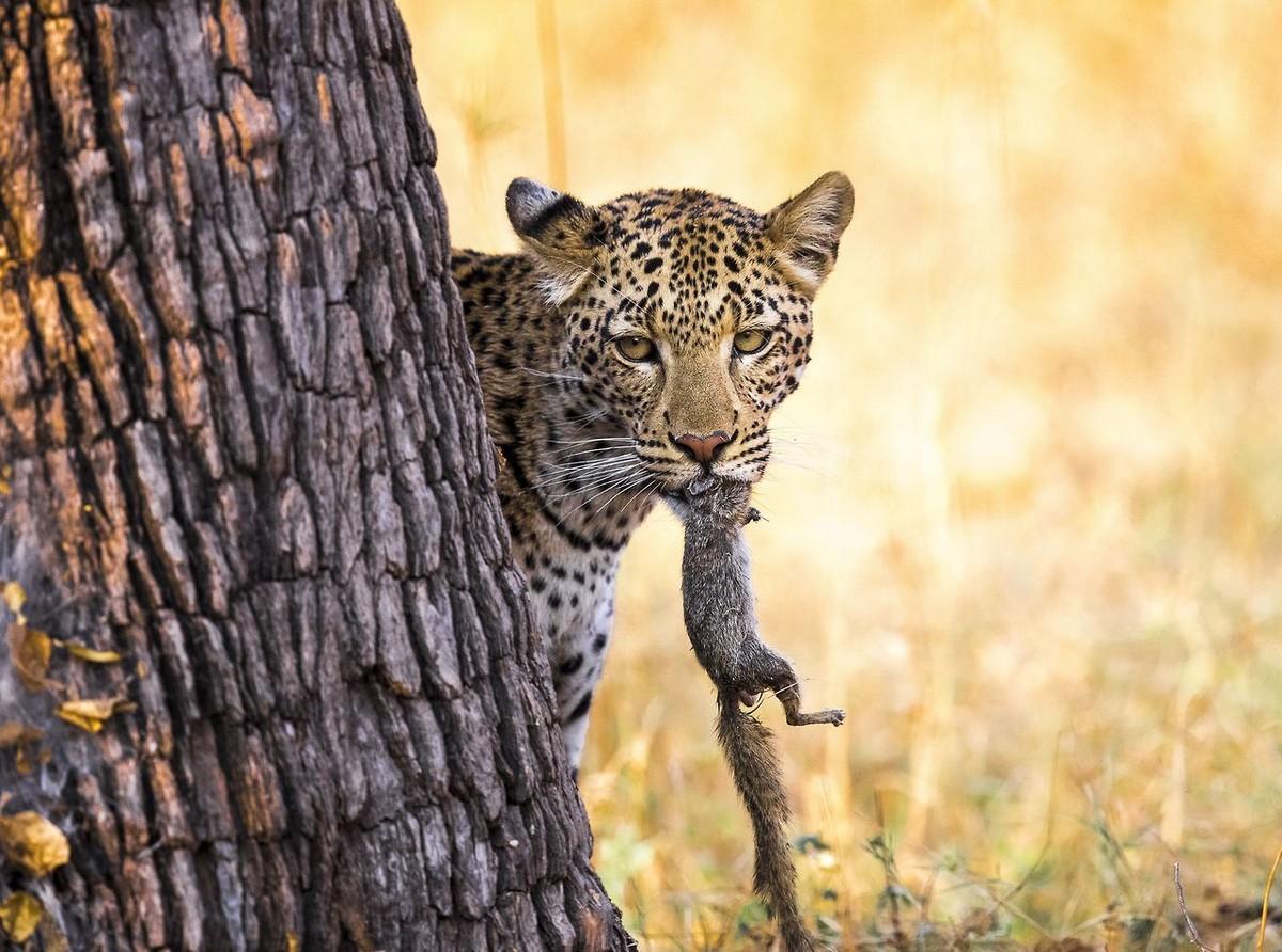 Охота на белку — он выслеживал её, гонялся, отвлекал своим хвостом... и ему удалось!