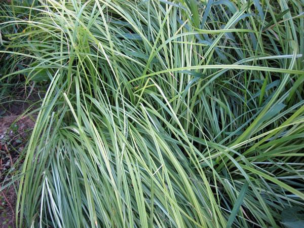 Растение чуфа описание