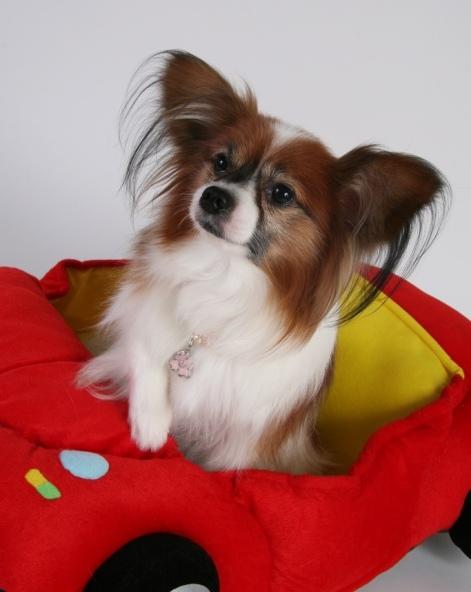 собака породы папильон. фото