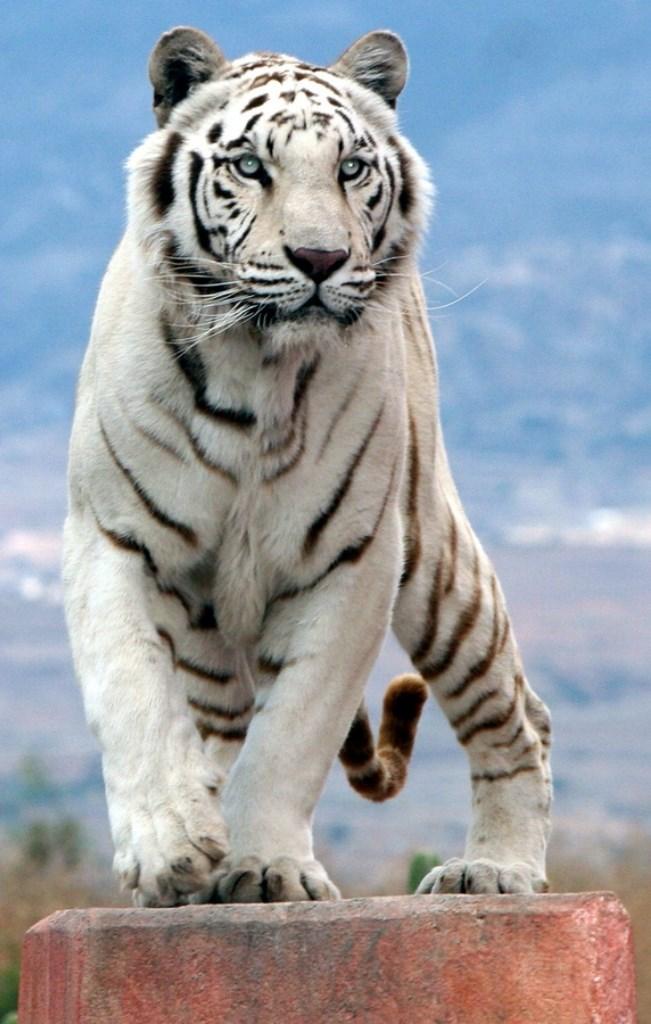 Белый тигр картинки животного, телефон все будет