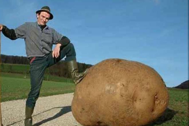 Как немцы выращивают картошку