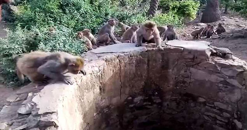 В Индии обезьяны спасли леопарда, который упал в колодец. Смотрите, как это было!