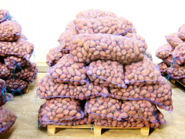 Хороший урожай картофеля в РФ обернулся катастрофой