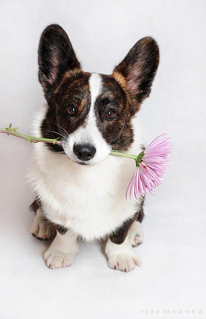 самые умные собаки: порода вельш-корги (кардиган). фото