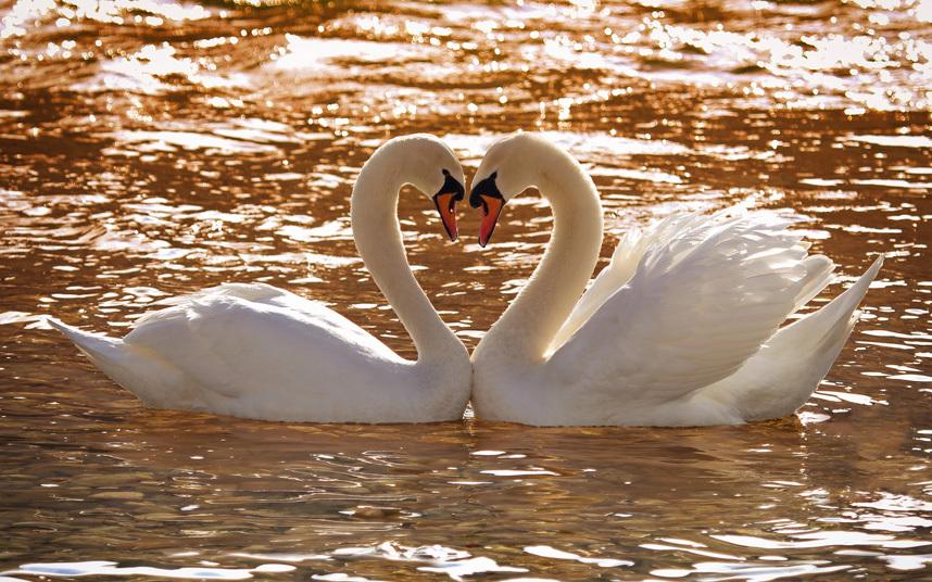абсолютно все самые красивые фото пары лебеди если необходимо
