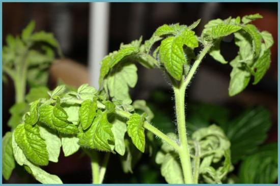 Почему скручиваются листья у томатов в дачной теплице?