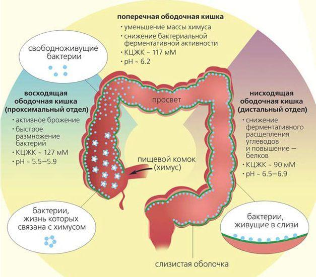 Кишечник-самая большая иммунная железа в организме человека