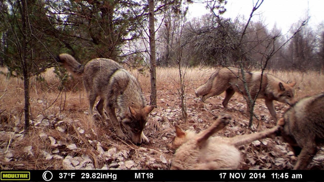 Биоразнообразие Чернобыльской зоны глазами скрытых видеокамер