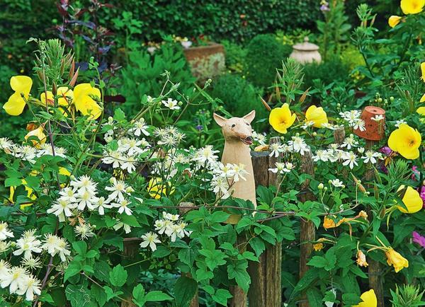 Деревянный забор увит клематисом фаргезиоидес (Clematis fargesioides) Paul Farges с мелкими ароматными цветками.