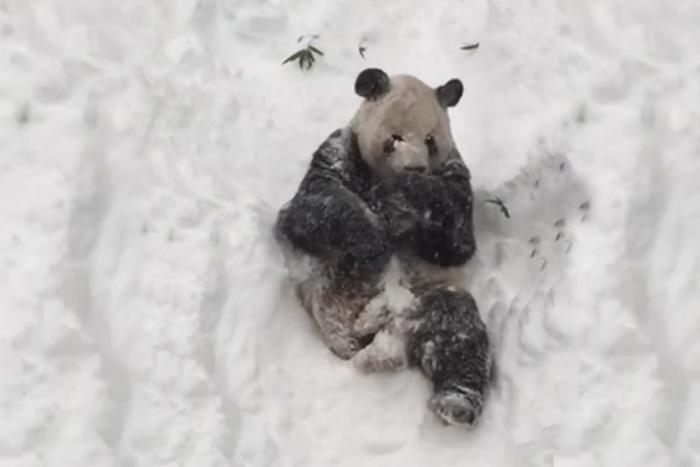 Видео, как панды играют в снегу покорило интернет