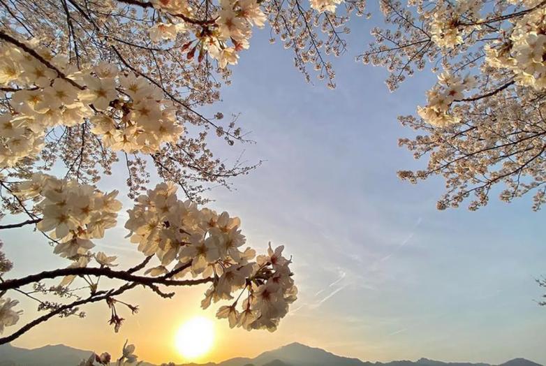 Сакура в Японии зацвела в рекордно ранние сроки сакура,ханами,Япония
