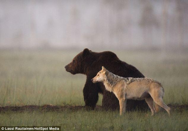 Крепкая дружба волчицы и бурого медведя дружба, животные, природа, хищники