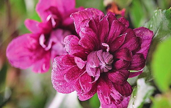 Клематис фиолетовый (C. viticella) Purpurea Plena Elegans