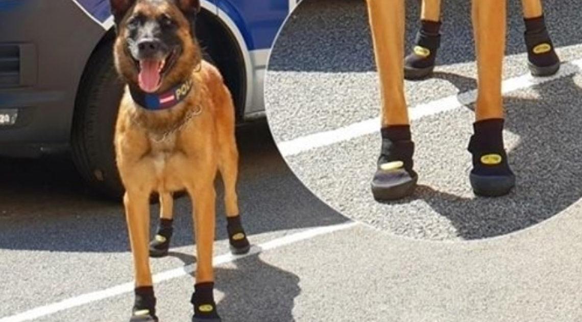 Из-за жары в Европе массово обувают полицейских собак в специальные ботиночки