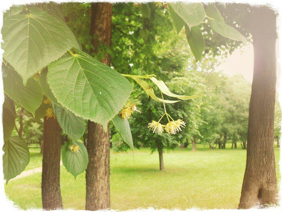 Картинки дерево липа летом