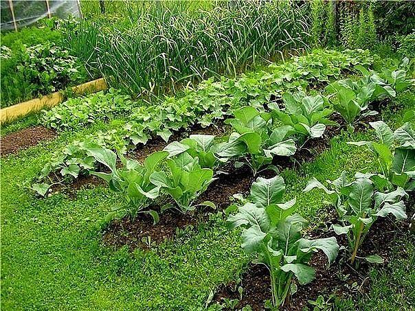 Горчица - хороший сидерат Почвы и удобрения