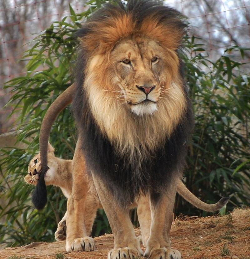 История:  как львенок  укусил папашу  хвост и чем  это кончилось