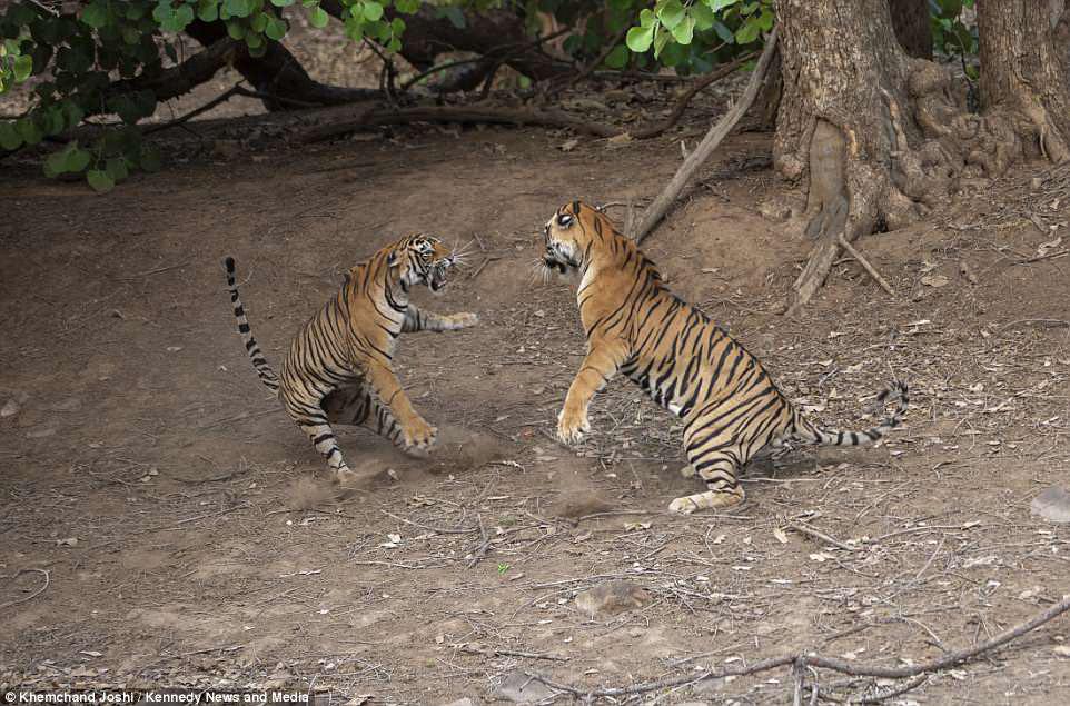 Сражение тигров в фотографиях