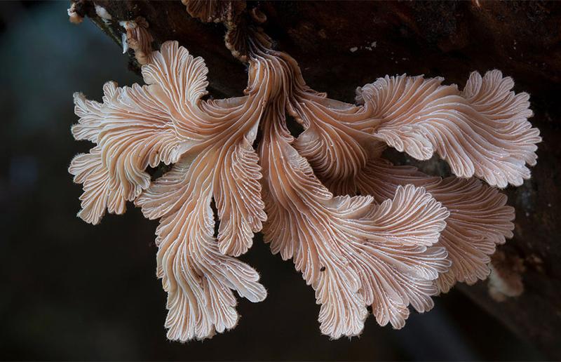 5. Schizophyllum commune Щелелистник. грибы, интересное, фото