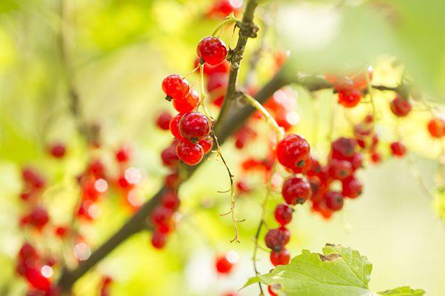 Как вырастить смородиновое «дерево»