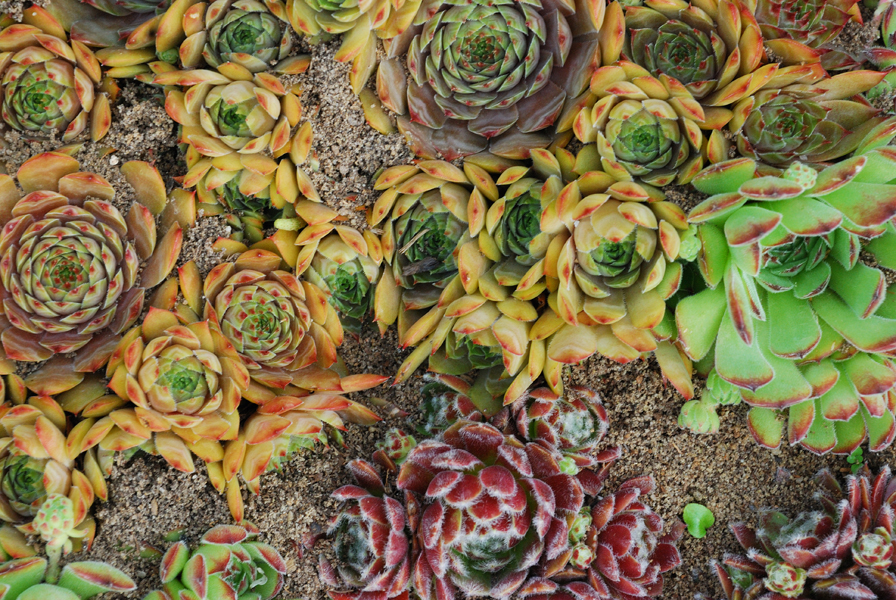 Молодило - возвращает молодость и бережет от молний интересное,каменная роза,молодило,растения