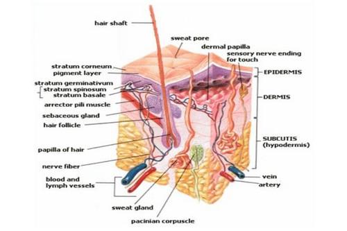 Arrector PiliВсем нам знакомо ощущение мурашек — а вызывают его как раз эти мышцы. Они прикреплены к нашим волосяным фолликулам. Для большинства животных это своеобразный защитный механизм, поднимающий волосы дыбом, чтобы казаться больше. Для современного же человека, чье тело почти всегда скрыто под одеждой, эти мышцы совершенно бесполезны.