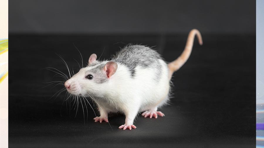 Неделя в истории: от Всемирного дня крысы до первого российского мультфильма