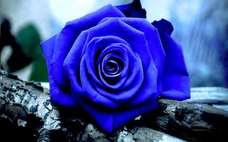 МИР РАСТЕНИЙ. Интересные факты о розах