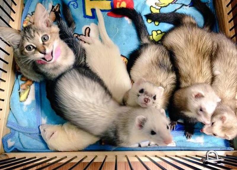 Котенок, усыновленный хорька…