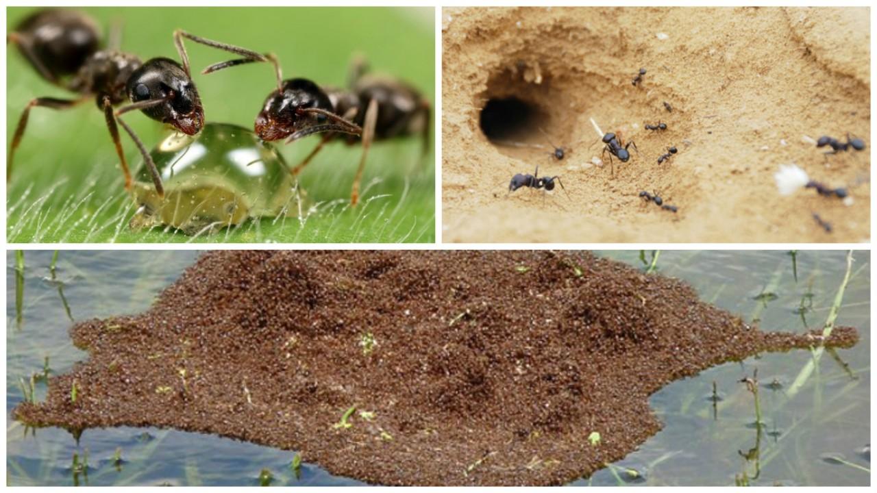 Коллективный разум муравьев просто поражает!