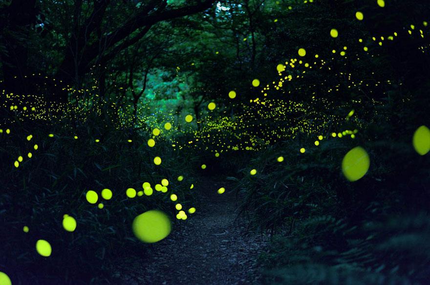 фото светлячков, фотографии светлячки, фото светляки