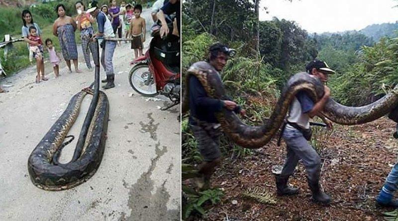 Как голодные жители Борнео убили и съели 6-метровую самку питона