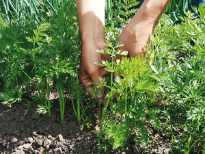 Правильный посев моркови для хорошего урожая
