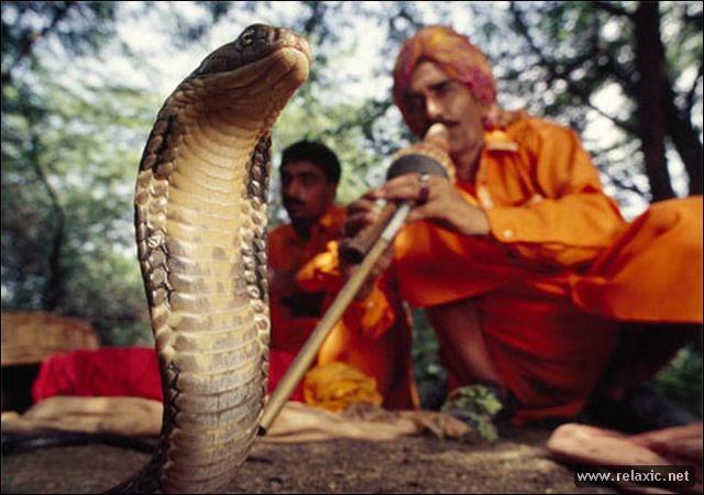 Как факирам удается заставить змею танцевать?