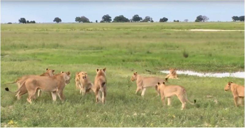 15 львиц атаковали попытавшегося присоединится к их группе молодого льва