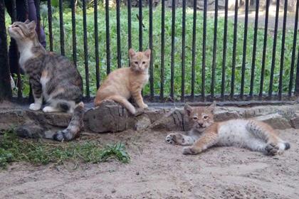В Новосибирске домашняя кошка выкормила рысь