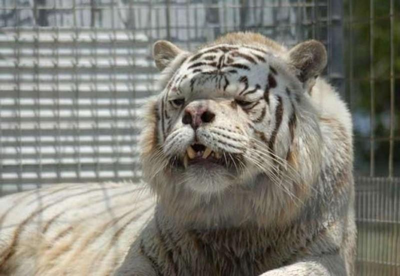 Тигры тоже бывают умственно отсталыми. интересное, факты