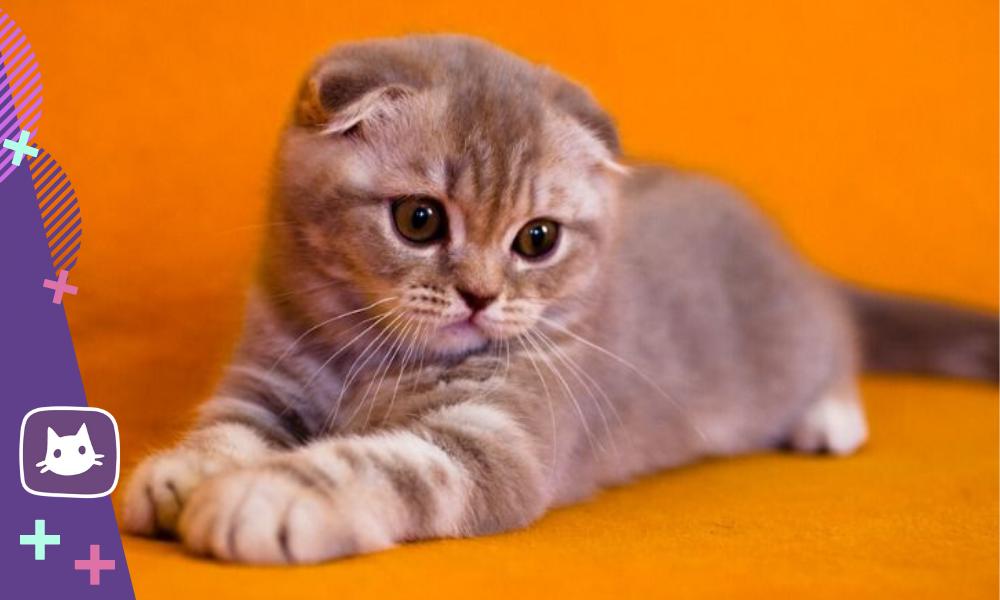 Невозможно оторвать взгляд: шотландские вислоухие котята
