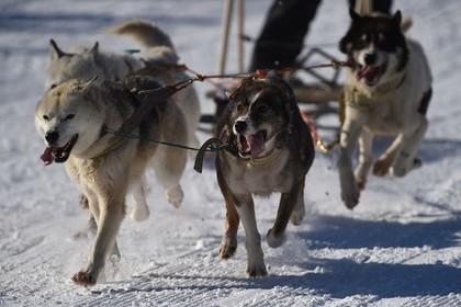 На Чукотке волки напали на победителя гонок на собачьих упряжках