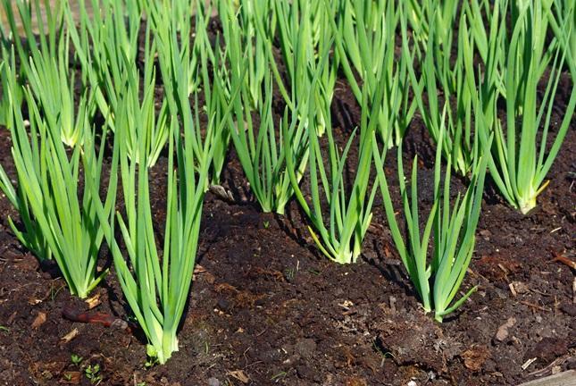 Уплотненные посадки овощных культур огород
