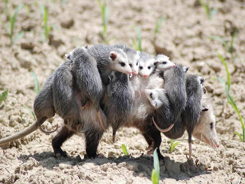 Детеныши Оппосум, крысовидные