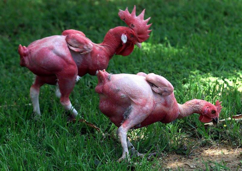 06. Курица. Животные без шерсти, Этот удивительный мир, животные