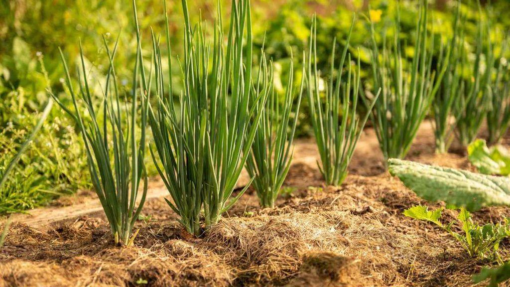 Чем озимый лук выгоднее весеннего