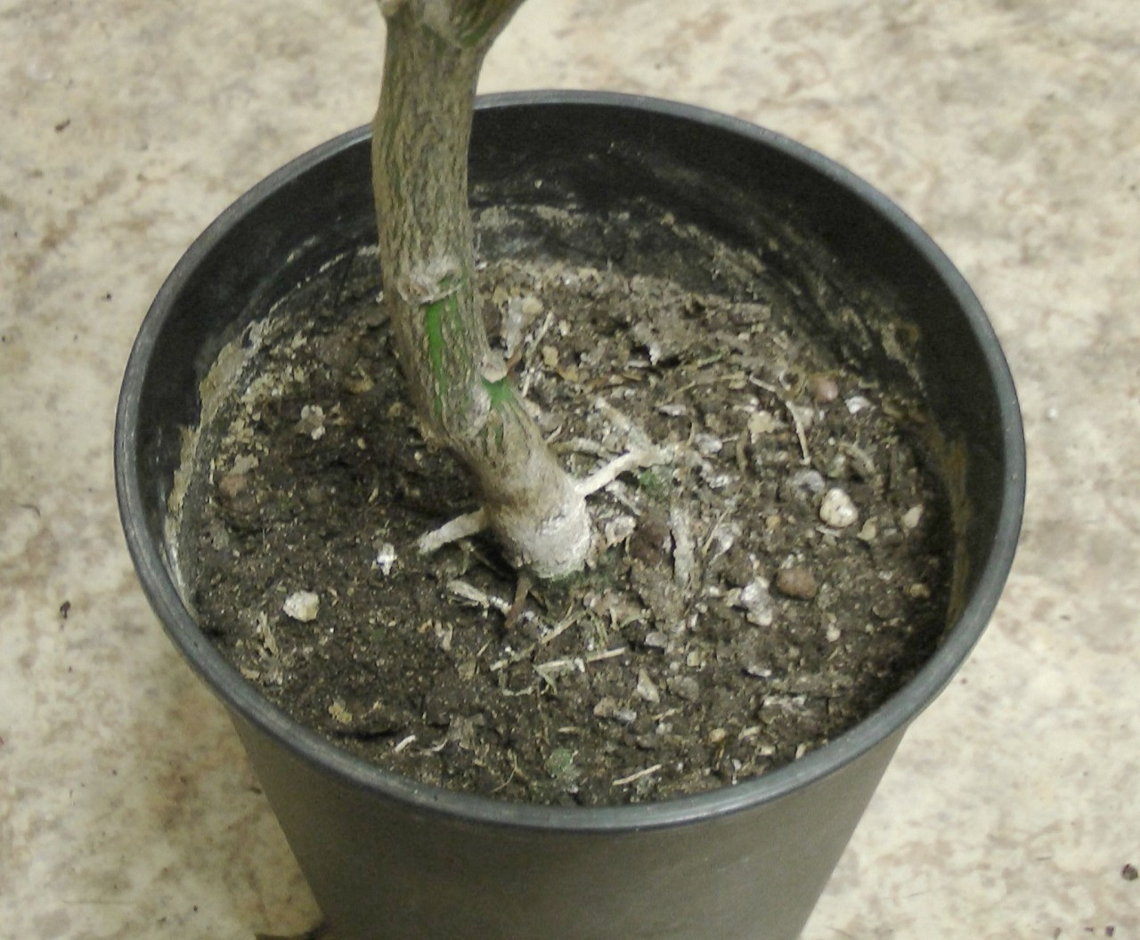 Как поливать цитрусовые растения?