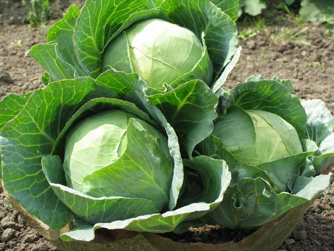 Эффективный способ выращивания ранней капусты на чёрном укрывном материале